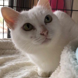 病院にて各種検査済🙆🐈💕〜5歳の真っ白な猫です