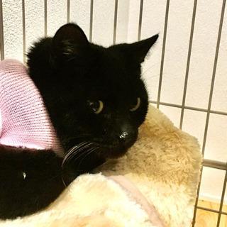 【急募・遠方可・避妊手術済】募集期間は一週間⭐️ペロッと舌が出がちな可愛い黒猫✨推定3歳⭐️ - 結城市