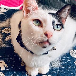 【家族になってください】白黒ブチ猫★ロコくん5歳