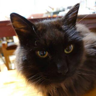 長毛黒猫   2020年末迷い猫として相談があり保護しました。警...