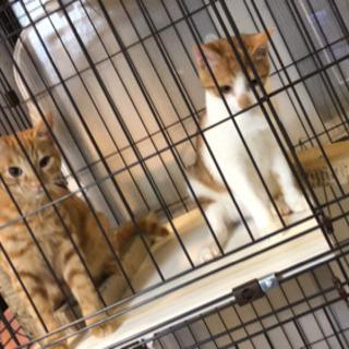 生後4ヶ月 子猫 メス2匹 里親募集