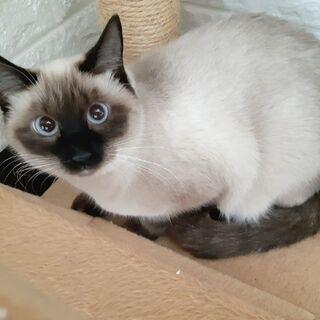 【ビーバー】ゴロスリ間近。シャム柄美猫。