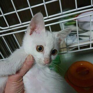 生後2ヶ月位 元気な白猫ちゃん【1/24(日曜日) 🌟譲渡会🌟】の画像