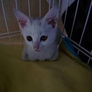 生後2ヶ月位 元気な白猫ちゃん【1/24(日曜日) 🌟譲渡会🌟】 - 久留米市