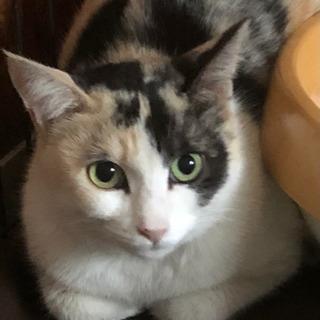 パステル三毛猫ミィちゃん3歳♀