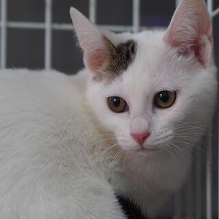 おすまし子猫ルナちゃん  兵庫県内希望