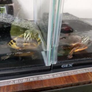 イエローベリーとトウブニシキガメのベビー