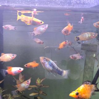熱帯魚⭐️プラティお譲りします