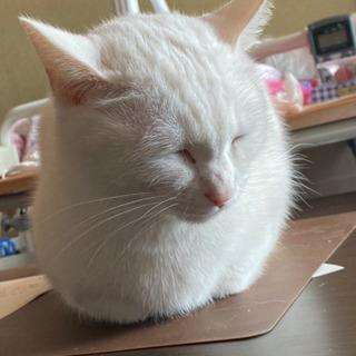 白 オッドアイ 小さい ゴロゴロ猫