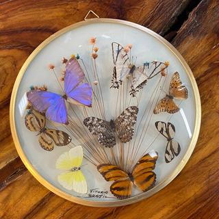 壁掛けの蝶の標本
