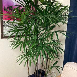 観葉植物 シュロチク 棕櫚竹