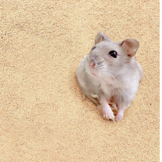 国内産「ヒノキ」粉末500gの画像