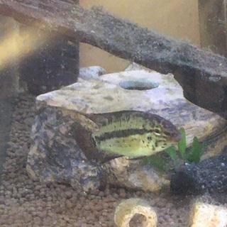 【ネット決済・配送可】Apクランデリ(sp.ギガス) の幼魚8匹...
