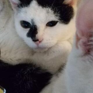 保護猫ややハチワレちゃん。生後9ヶ月