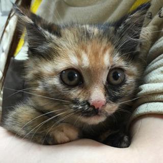 箱で捨てられていた三毛猫ジュリアンちゃん