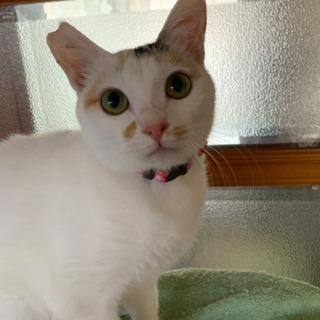 美猫ミケ猫 メス手術済み
