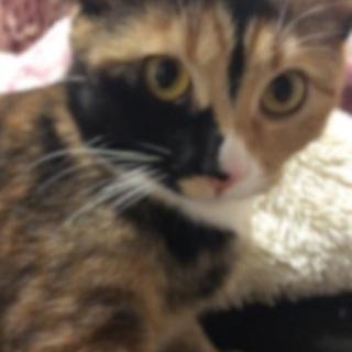 甘えん坊のサビ猫
