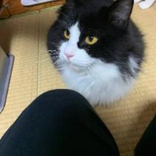 白黒ハチワレ長毛短足(♂)猫ちゃん