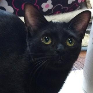 漆黒の黒猫さん♪おちょぼ口♪♪ - 名古屋市