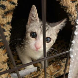 生後2ヶ月くらいのやんちゃ🌟サバ白くん♂