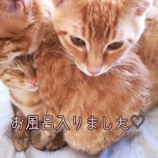 再募集1/19★茶トラ③兄弟★