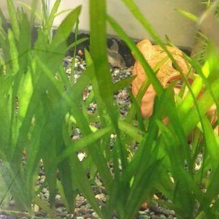 水槽 水草 バリスネリア 無料ですが条件付き