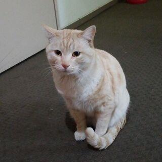 【里親様募集】身体の大きいベージュトラ猫の雄(推定2~3歳)おと...