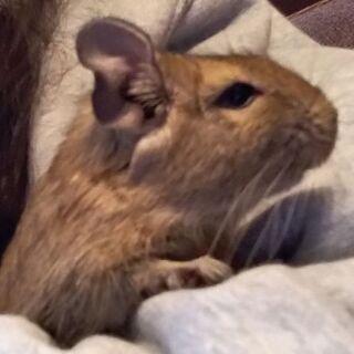 デグーマウス2歳