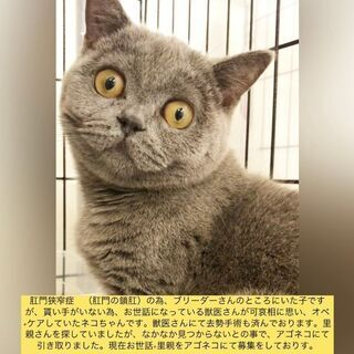 ブリティッシュショートヘア 子猫 本文をよくご覧下さいませ。  ...