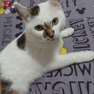 里親募集 大人しい白猫ちゃん