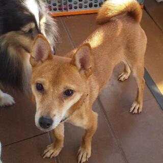 【愛媛県の方限定】推定3歳のMIX小型犬の里親募集