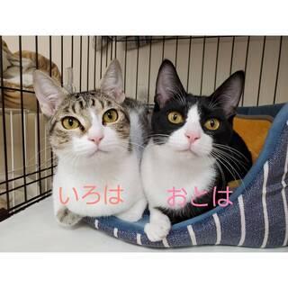 なかよし姉妹猫おとは&ことは 兵庫県内を希望