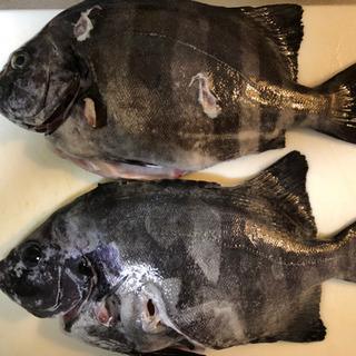 日本海でスピアフィッシング(魚突き)一緒に楽しめる方