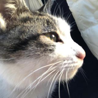 1歳前後の保護猫ちゃんです。 − 愛知県