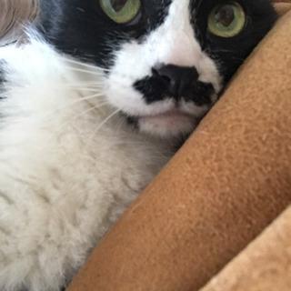 お髭模様のハチワレ8歳♡