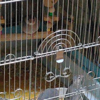 文鳥(中雛、6匹)