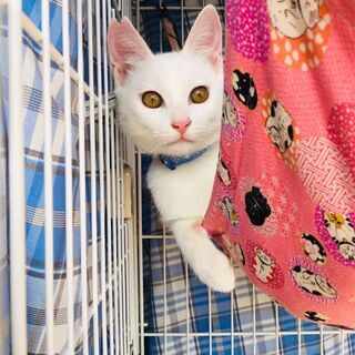 白猫のフレンドリー王子君 兵庫県内希望