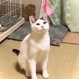 優しいお兄さん猫白にゃー君