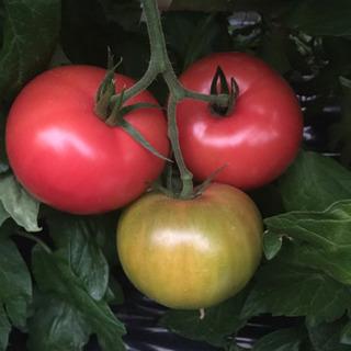 「土曜、日曜のみ」直接取引限定!新鮮朝取りトマト 1kg