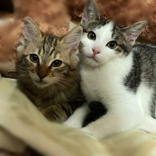 3ヶ月半兄弟子猫の里親募集
