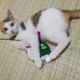 三毛猫メス4ヶ月(飼い主なし確認済み)