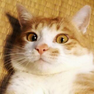 【トライアル決定につき募集を一旦停止します】ゴロニャン猫、甘えん...