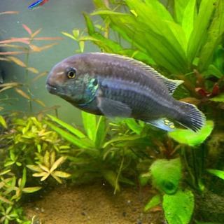 熱帯魚 イエローストライプシクリッド オス成体 約14cm