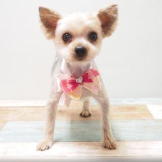 ヨークシャーテリア 4歳 ♀ ブリーダー引退犬