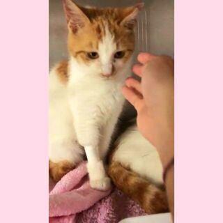 【お話中】毎週日曜日は福岡市中央区にて予約制の譲渡会🎵今宿プチ子 - 猫