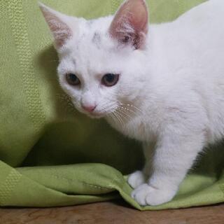 ⭐急募⭐白猫♀メス3ヶ月