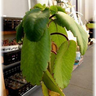 【幸せの葉っぱ】『マザーリーフ』三年物 草丈40~50cm…
