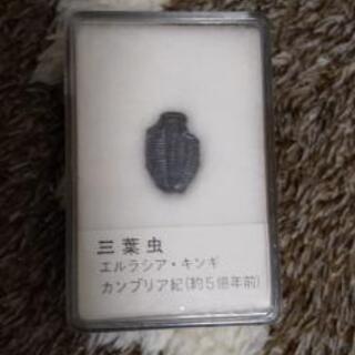 三葉虫 エルラシア・キンギ カンブリア紀(約5億年前)コレ…