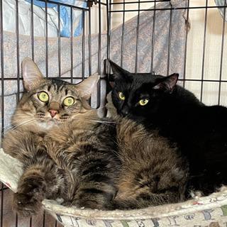 キジトラ長毛のバロ君&黒猫のロデ君!里親様募集です!