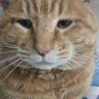 茶トラ オジサマ猫の里親様募集 エイズキャリア 推定4歳
